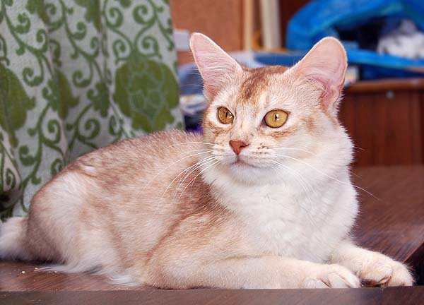 Siamese Cat Facts Siamese Cats  The cats with the most